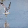 Yellow Legged Gull Take Off by Jivko Nakev