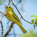 Yellow Warbler by Michael Cunningham