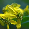 Yellow Wingstem by Jack R Perry