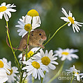 Young Eurasian Harvest Mouse by Jean-Louis Klein & Marie-Luce Hubert