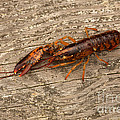 Young Lobster by Ted Kinsman