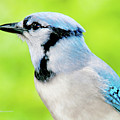 Blue Jay, Animal Portrait by A Gurmankin