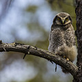 Hawk Owl by Borje Olsson