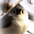 2000-001 - Tufted Titmouse by Travis Truelove