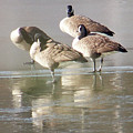2004-geese On Ice by Martha Abell