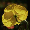 2011, Yellow Poppy by Arvydas Zilys