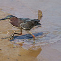 2012-baby Green Heron by Martha Abell