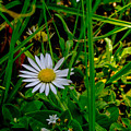 2015 08 23 01 A Flower 1106 by Mark Olshefski