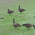 2016-canadian Geese And Babies by Martha Abell