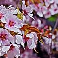 2017 Earthday Olbrich Gardens Fuji Cherry 1 by Janis Nussbaum Senungetuk