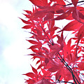 2017 Red Maple 3 by Victor K