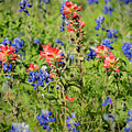 201703300-068 Indian Paintbrush Blossom 2x3 by Alan Tonnesen