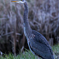 2018_3_09  Blue Heron-5652 by Roger Patterson