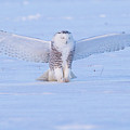 Snowy Owl by Dee Carpenter
