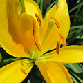 Yellow Lily by Michele Caporaso