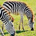 Zebras by Werner Lehmann