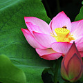 Blossoming Lotus Flower Closeup by Carl Ning