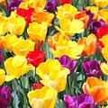 Amsterdam Tulips. by Oscar Williams