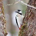Great Spotted Woodpecker by Jouko Lehto
