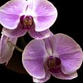 Orchids Kauai by Yefim Bam