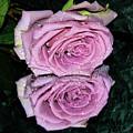 Purple Rose by Elvira Ladocki