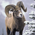 25084, Bighorn Sheep, Winter, Jasper by First Light