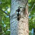 Great Spotted Woodpecker by Jouko Lehto