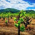 2638- Coffaro Vineyard by David Lange
