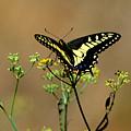 Butterfly by Marc Bittan