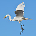 Great Egret by Lindy Pollard