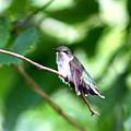 2757 -  Hummingbird by Travis Truelove