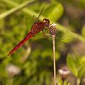 Dragonfly by Gouzel -