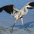 Great Blue Heron by Paulette Thomas