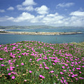 2a6106 Ice Plant Doran Beach Ca by Ed Cooper Photography