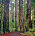 2b6391 Armstrong Redwoods Ca by Ed Cooper Photography