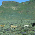 2da5946-dc Cattle On Steens Mountain by Ed Cooper Photography