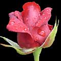2nd Rosebud In The Rain by Shirley anne Dunne