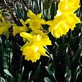 A Daffodil Exhibit by Barbara Rea