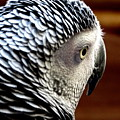 African Grey Parrot  by Ines Ganteaume