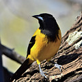 Audubon Oriole by Dwight Eddington