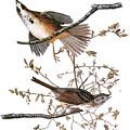 Audubon: Sparrow, (1827-38) by Granger
