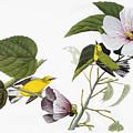 Audubon Warbler by John James Audubon