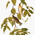 Audubon: Warbler by Granger