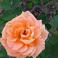 Australia - Orange Rose Flower by Jeffrey Shaw