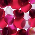 Back Lit Flower Petals 1 by Dan Yeger