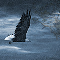 Bald Eagle by Gouzel -