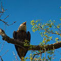 Bald Eagle by Michael Tucker