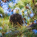 Bald Eagle by Warrena J Barnerd