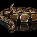 Ball Or Royal Python Snake On Isolated Black Background by Sergey Taran
