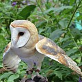 Barn Owl by Philip Ralley
